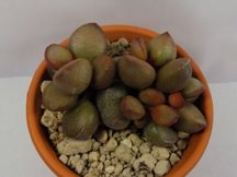 Adromischus little spheroide