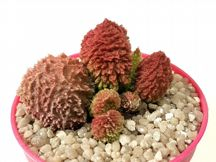 adromischus marriannae herrei red