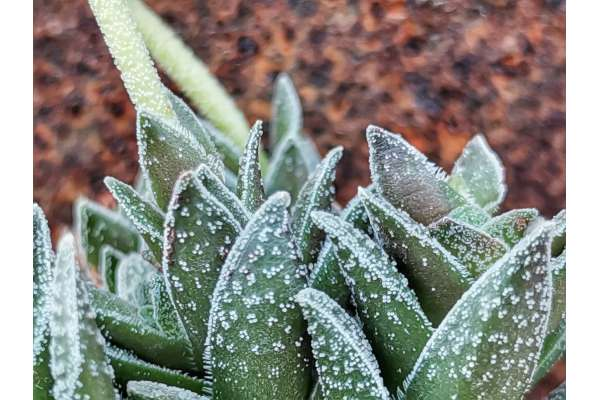 Crassula cv. Frosty
