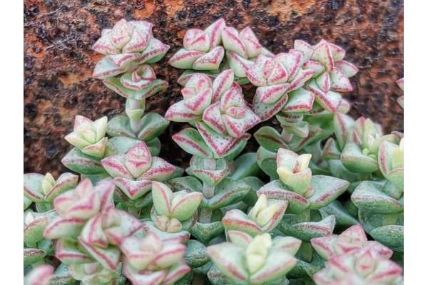 Crassula cv. Tom Thumb