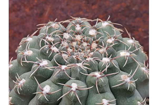 Gymnocalycium quelianum