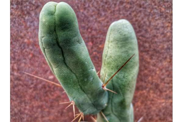 Trichocereus bridgesii f. monster