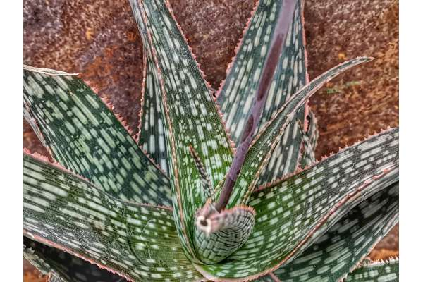Aloe cv. moonglow