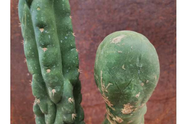 Trichocereus pachanoi f. monster