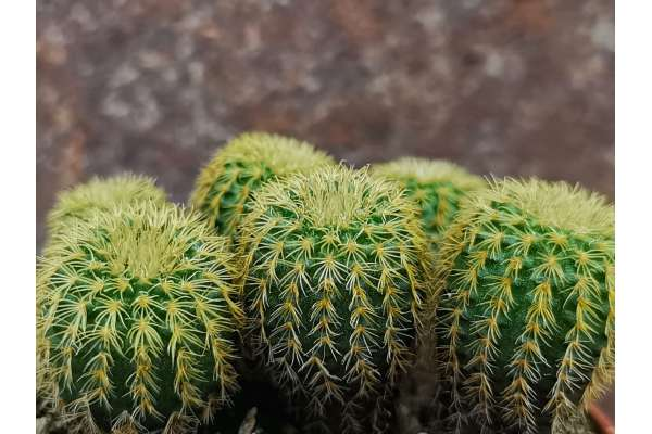 Du ca.1,5-1,7 cm Hö ca.1 cm Frailea gracilima